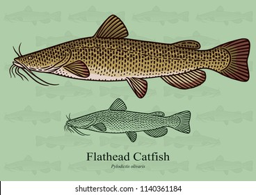 Flathead Catfish. Vector illustration with refined details and optimized stroke that allows the image to be used in small sizes (in packaging design, decoration, educational graphics, etc.)