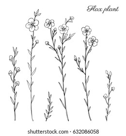 Flax plant, wild field flower isolated on white, botanical hand drawn sketch vector doodle illustration, line art  for design package organic cosmetic, natural medicine, greeting card, vegan food