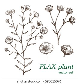 Flax set.  Botanical Illustration. Medicinal plants.  The drawing hands.