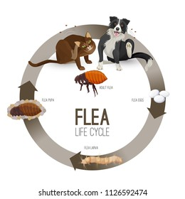 Flea life cycle circle with headlines vector illustration