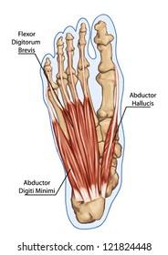Flexor Digitorum Brevis - Anatomy of leg and foot human muscular and bones system