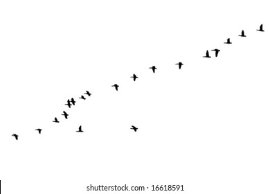 Flock of geese in formation flight  over white