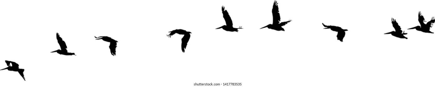 flock of pelicans black silhouette, vector