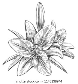 floral blooming lilies vector illustration hand drawn vector illustration realistic sketch