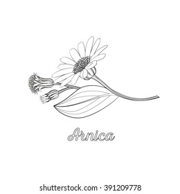 Floral line art composition with arnica. Branch of arnica with flower, buds and leaf. Vector illustration for use in web design, print or other visual area.