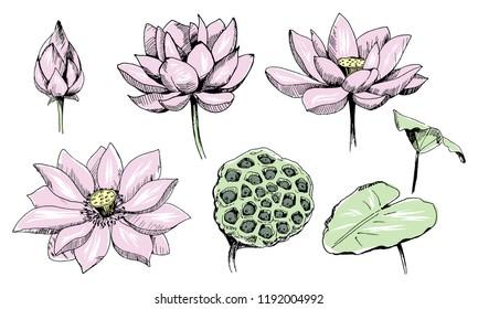 Floral vector elements for design. Lotus flowers.