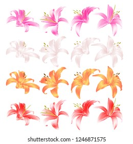 Flovers closeup Lily pink white yellow and red Lilium candidum  on a white background  vintage vector illustration editable Hand draw