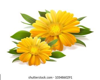 flower of calendula on white background