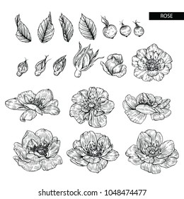Flower drawings.  Collection of Rose with flowers and berries by Hand drawn with line-art on white backgrounds.