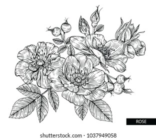 Flower drawings. Rose flowers and berries vector by hand drawn on white backgrounds.