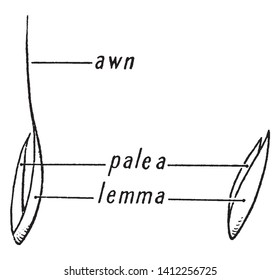 Flower is enclosed by two fertile bracts with the larger bract. The lemma enclosing the usually smaller bract termed the palea. The tip of gume, lemma, or palea called an awn, vintage line drawing