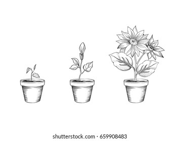 Flower growth set. Floral pot. Plant bloom stages. Sketch sign collection