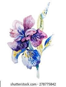 Flower of iris drawing by watercolor, hand drawn vector illustration. Design for weding invitation or beauty design.
