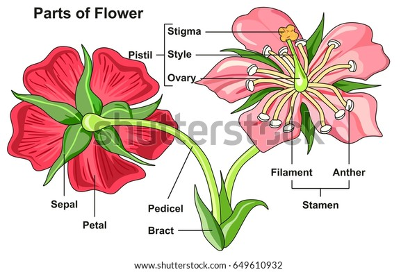 Flower Parts Diagram Front Back View Stock Vector (Royalty Free