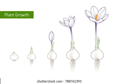 Flower plant growth concept vector design illustration. Crocus germination from corm bulb to sprouts to flower. Life cycle phases evolution. Isolated outline sketch drawing on white background.
