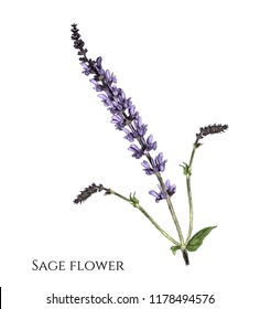 flower sage branch with appendages, sketch vector graphic color illustration on white background
