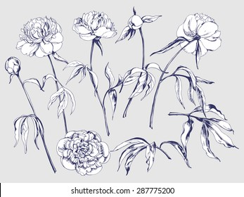 Flower set: highly detailed hand drawn  peonies. ?lement for your design. Vector illustration