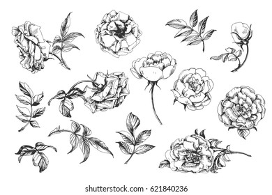Flower set: highly detailed hand drawn roses. Template Vector.
