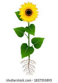 Flower of sunflower with roots on white background.