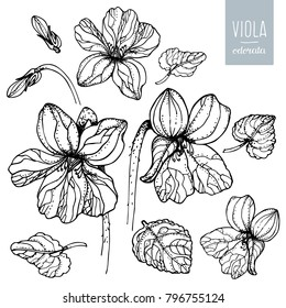 Flower viola odorata. Floral set. Flowers violets and leaves isolated on a white background. Hand drawn vector illustration  in sketch style
