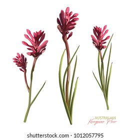 Flowering Anigozanthos Pink Vector