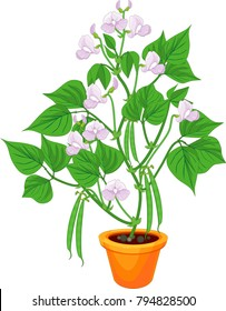 Flowering bean plant in flower pot with green leaves and pods isolated on white background