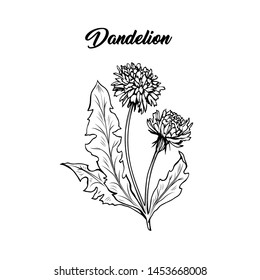 Flowering dandelion freehand vector illustration. Spring honey plant, wildflower outline. Fragile summer flower, Taraxacum leaves and petals monochrome engraving. Postcard, poster design element