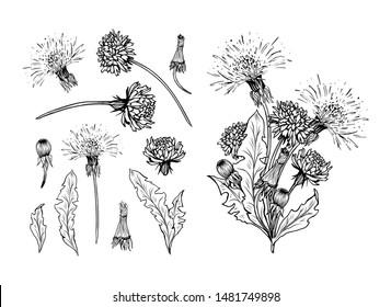 Flowering dandelion freehand vector illustrations set. Spring honey plant, hand drawn wildflower twigs. Summer flower, Taraxacum leaves, buds monochrome engraving. Postcard, poster design element