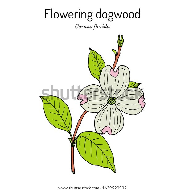 Flowering Dogwood Cornus Florida State Flower Stock Vector Royalty Free 1639520992