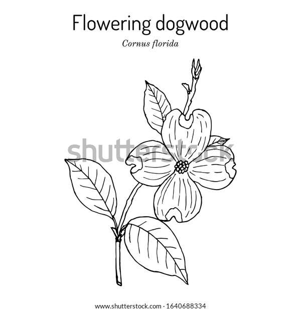 Flowering Dogwood Cornus Florida State Flower Stock Vector Royalty Free 1640688334