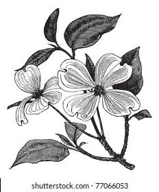 Flowering Dogwood or Cornus florida, vintage engraving. Old engraved illustration of a Flowering Dogwood. Trousset Encyclopedia