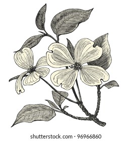 "Flowering Dogwood - vintage engraved illustration - ""Dictionnaire encyclopédique universel illustré"" By Jules Trousset - 1891 Paris"