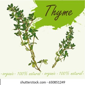 Flowering fresh thyme. Fresh Thyme. Vector illustration