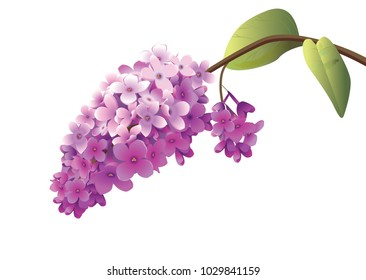 flowering lilac branch