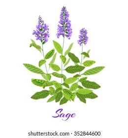 Flowering sage. Sage herb. Vector illustration