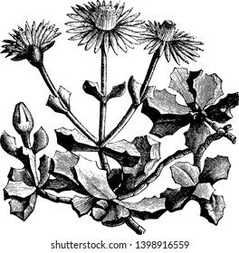 The flowers are a bright pinkish purple and are fairly short and triangular. Plants are low with a multitude of sturdy, leafy branches, vintage line drawing or engraving illustration.