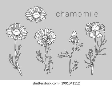 Flowers and bud of wild chamomile