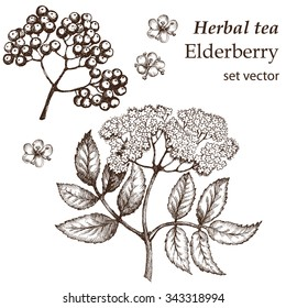 Flowers elderberry, twig . Botanical drawing. Medicinal plant. Herbal tea  set. Hand drawn.