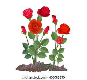 Flowers growing in the garden. Rose bush isolated on white background.