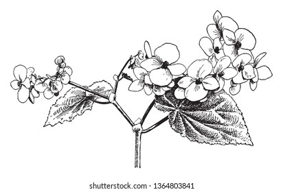 Flowers have four petals, flowers blossom from January to April. The branches are swollen above the nodes, vintage line drawing or engraving illustration.