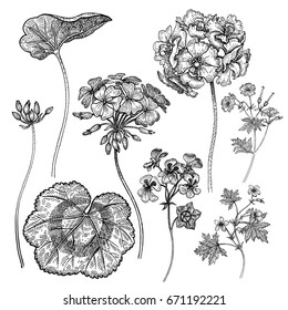 Flowers and leaves of geranium isolated on white background. Template for creating cards, patterns, congratulations, invitations, decorations, ornaments. Hand drawing. Black and white vintage graphics