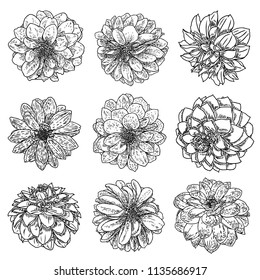 Flowers set. Botanical Dahlias and zinnia illustration summer design elements. Black and white collection of hand drawn flowers and herbs isolate on white background. Vector.