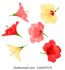 Flowers tropical plant  hibiscus red pink and yellow  on a white background  vintage vector illustration editable hand draw