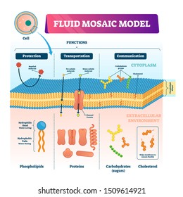 Fluid mosaic model vector illustration. Labeled cell membrane structure infographic. Educational scheme with phospholipids, protein, carbohydrates and cholesterol. Biological elastic functions graphic