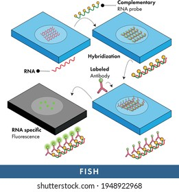 Fluorescence in situ hybridization: Also known as FISH for RNA visualization using blotting technique and fluorescent tagged antibodies.