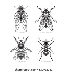 Fly, Cicada, Ant, Bee, vintage engraved illustration. Isolated on white.