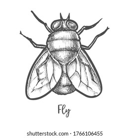 Fly insect sketch or bottle housefly drawing. Macro woodcut mosquito. Hand drawn bug for infection poster. Vector illustration design for biology or entomology book. Wildlife nature, swarm, infection