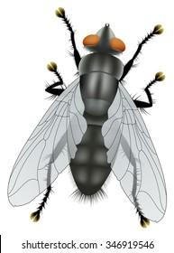 Fly isolated on white background