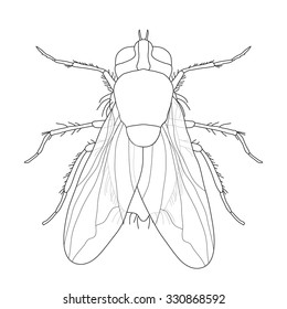 fly. Musca domestica..  Insect. a realistic fly. fly silhouette. fly isolated  on white background.  fly Design for coloring book.  hand-drawn fly. Vector illustration