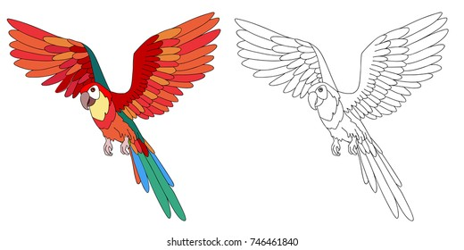 Flying ara parrot cartoon, page for coloring book. Line contour and sample coloring of parrot.
